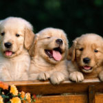 golden-retriever